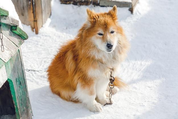 Портрет пушистой красной прикованной собаки на открытом воздухе зимой на снегу глядя