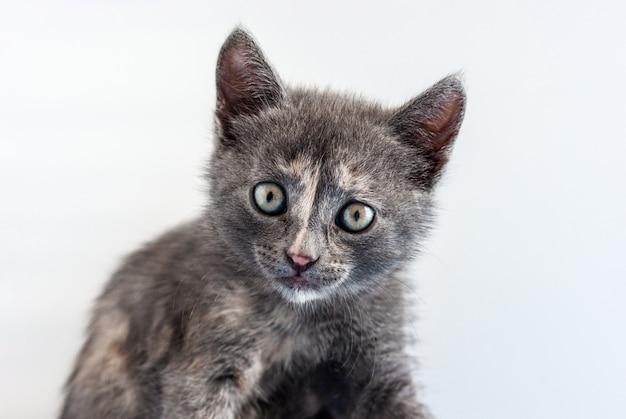Портрет забавного маленького серого котенка, смотрящего прямо в камеру