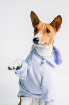 パーカーを着て足を与える面白い赤白バセンジー犬の肖像画。