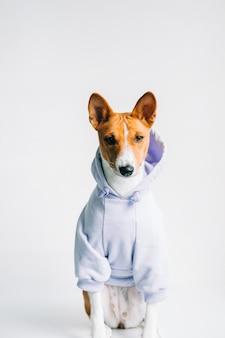 パーカーを着てカメラを見ている面白い赤白バセンジー犬の肖像画。