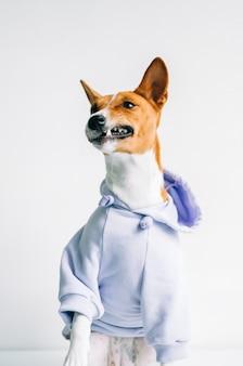 パーカーを着て冗談のしかめっ面を作る面白い赤白バセンジー犬の肖像画。