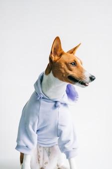 パーカーを着て面白い赤白バセンジー犬の肖像画。