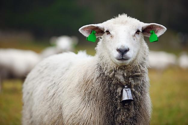 Портрет пушистых овец с ушными бирками и колокольчиком в поле