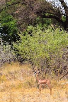 Портрет газелей-геренуков в парке меру кения африка