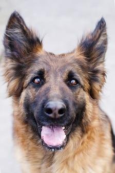 犬の頭のジャーマンシェパード犬の写真の肖像画