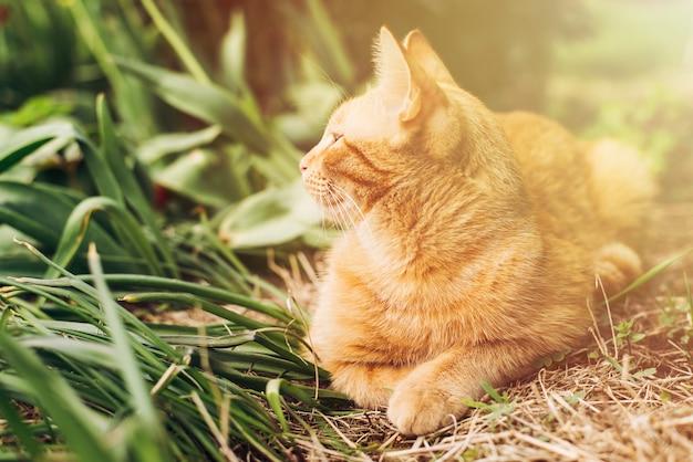 Портрет рыжего кота лежит на зеленой траве в саду и смотрит вдаль