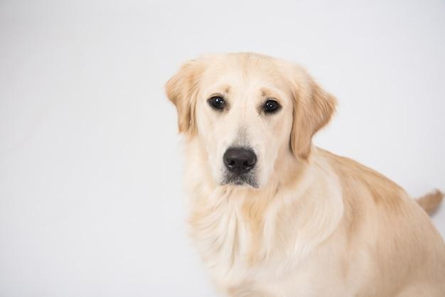 ゴールデンレトリバー犬の肖像画