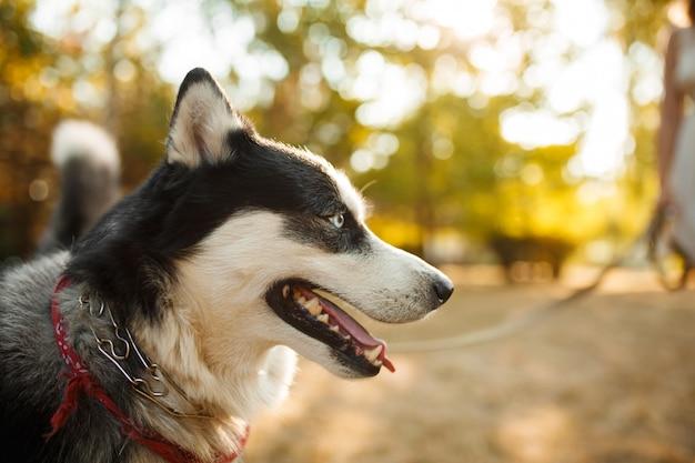 Портрет великолепной собаки породы хаски в летний день