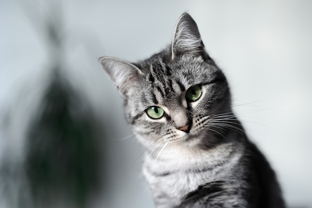 緑の目を持つ灰色のアメリカンショートヘアの猫の肖像画。