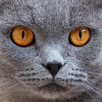 灰色のスコティッシュフォールド猫の肖像画、クローズアップ。美しいオレンジ色の猫の目に焦点を当てます。