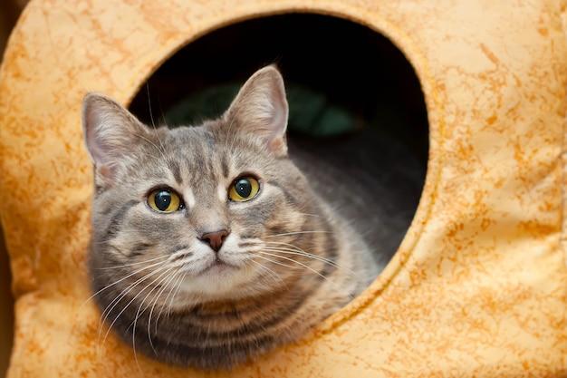 黄色い猫の家の灰色のぶち飼い猫の肖像画