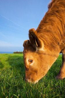 Портрет пасущейся коровы в нормандии, франция.
