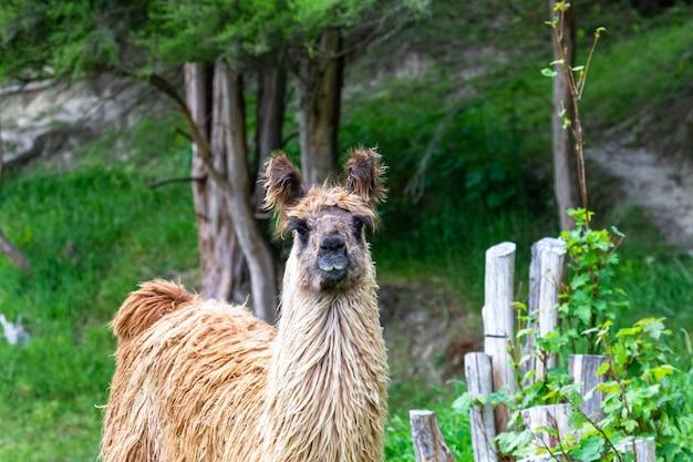 Портрет гуанако. южный остров, новая зеландия