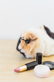 Portrait of guinea with lipstick and blusher on wooden background
