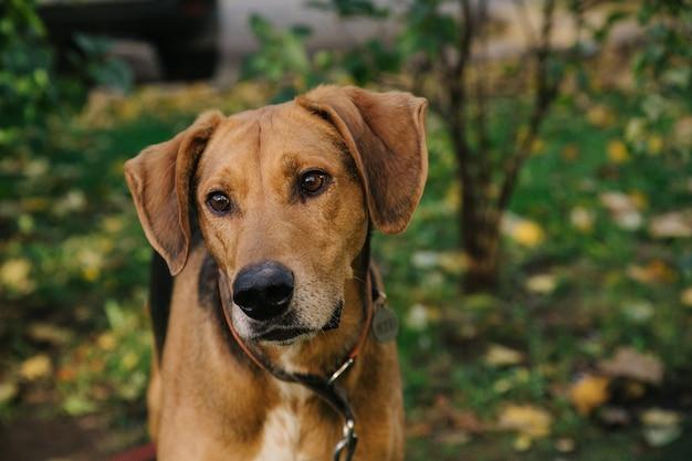 葉のボケ味の背景を持つ幸せなかわいい子犬の肖像画。スペースのある日没時のカラフルな春の葉と笑顔の犬のヘッドショット。野良犬。