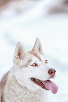Портрет счастливой сибирской хаски на открытом воздухе в зимний день