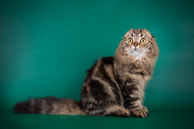 컬러 벽에 하이랜드 폴드 고양이의 초상화