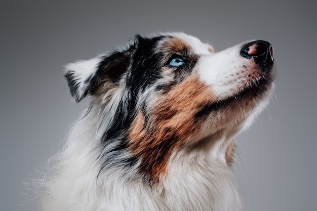 白い背景の上の人間の友人の肖像画。スタジオで色とりどりの毛皮のポーズでうれしそうなオーストラリアの犬。
