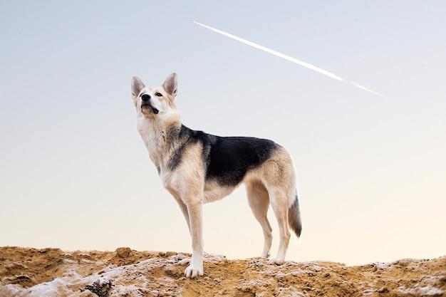 カメラを見ている牧草地に立っているハスキー犬の肖像画。