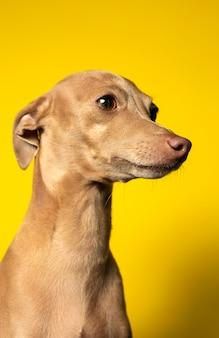 스튜디오에서 이탈리아 그레이 하운 드 강아지의 초상화