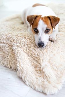 Портрет собаки джек рассел терьера, лежащей на полу.
