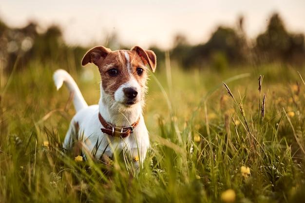 ジャックラッセルテリア犬の夜の外の肖像画