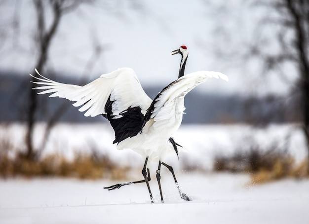 自然の中で日本の鶴の肖像画