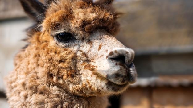 動物園で茶色がかったオレンジ色の毛皮とラマの肖像画