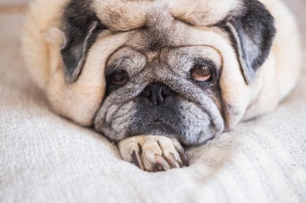 白い毛布の上に横たわってカメラを見ている怠惰な古いパグ犬の肖像画