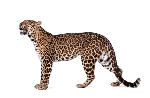 Портрет леопарда, panthera pardus, стоя