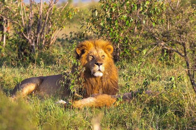 マーサイ・マーラのライオンの王様の肖像画ケニアアフリカの芝生の上で休む