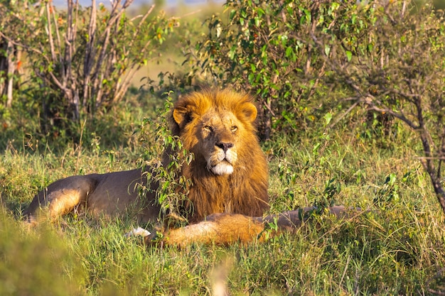Портрет короля лев масаи мара отдых на траве кения африка