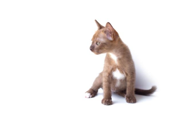 Портрет милой кошечки, сидящей и смотрящей, изолированной на белом