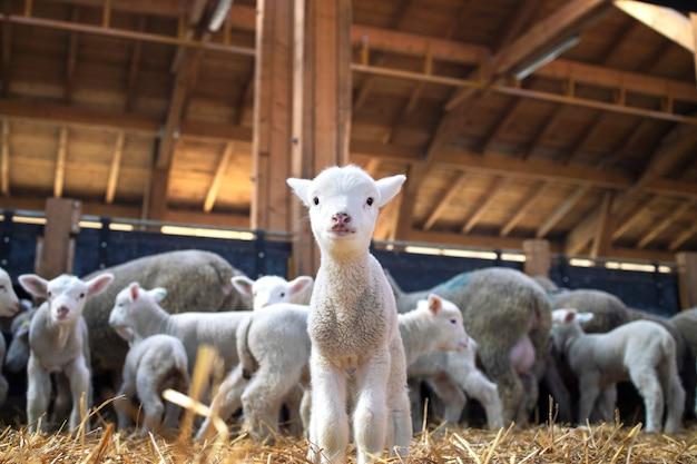 牛舎の正面を見つめる素敵な子羊の肖像画