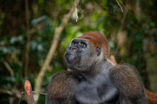 저지대 고릴라의 초상화. 콩고 공화국.