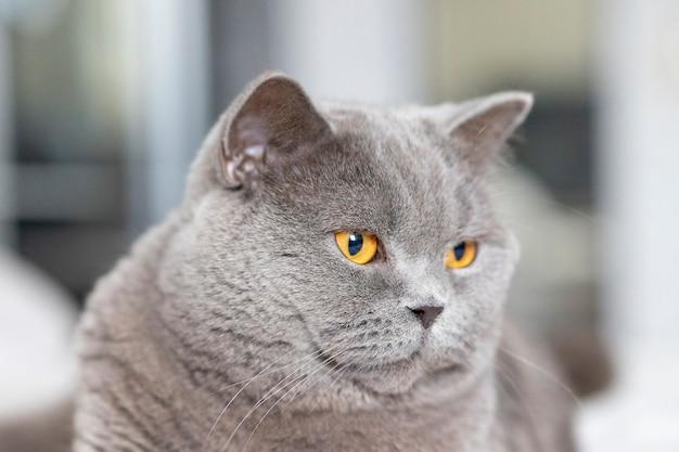 オレンジ色の目のクローズアップで横たわっている灰色の猫の肖像画。ブリティッシュブルーショートヘアの猫。