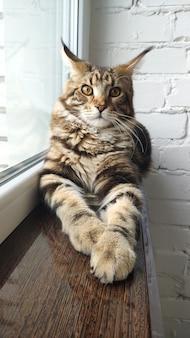 窓の近くの窓枠にメインクーン猫の肖像画