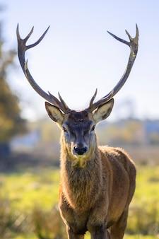 Портрет величественного мощного взрослого благородного оленя осенью