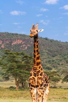 Портрет масаи жирафа