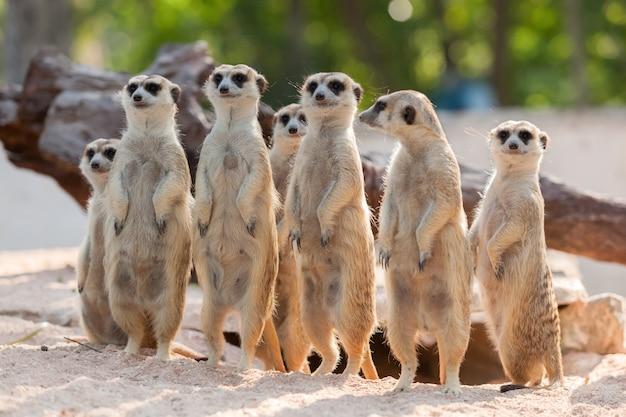 모래에 meerkat 가족의 초상화입니다.