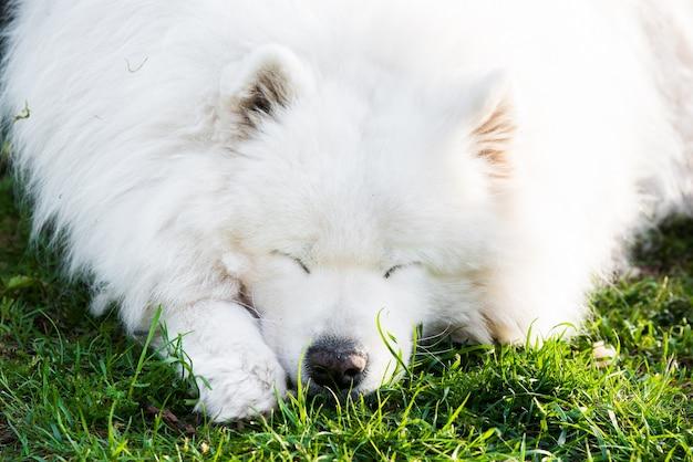 外の老齢サモエド犬の肖像画