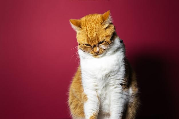 赤い表面に丸い眼鏡をかけているオレンジ色の白い猫の肖像画