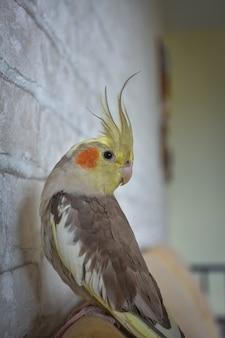 Портрет попугая корелла, крупным планом корелла, серый попугай, домашний попугай