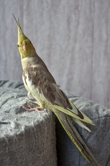 Портрет попугая корелла, серый попугай, домашний попугай
