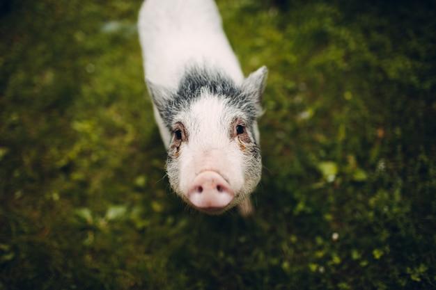새끼 돼지의 초상