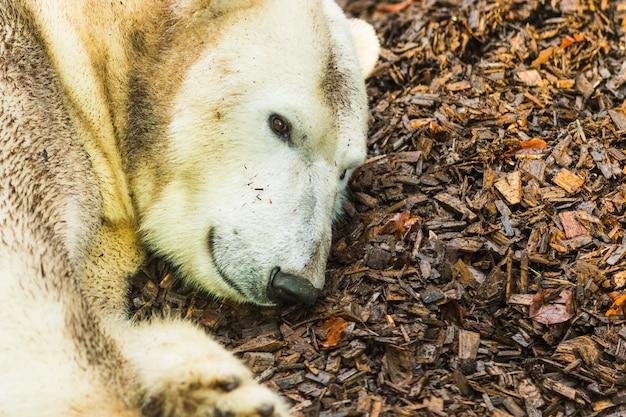 Портрет белого медведя, лежащего на земле