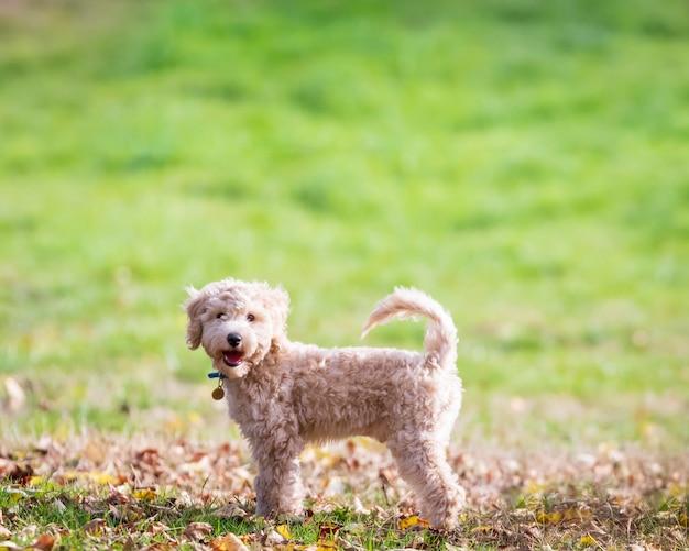 Poochon 강아지의 초상화는 공원에서 푸른 잔디에 꼬리를 서서 카메라를 찾고