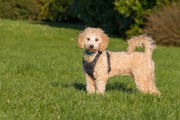 공원에서 푸른 잔디에 꼬리와 함께 서서 카메라를 찾고 검은 하네스를 입고 poochon 강아지의 초상화
