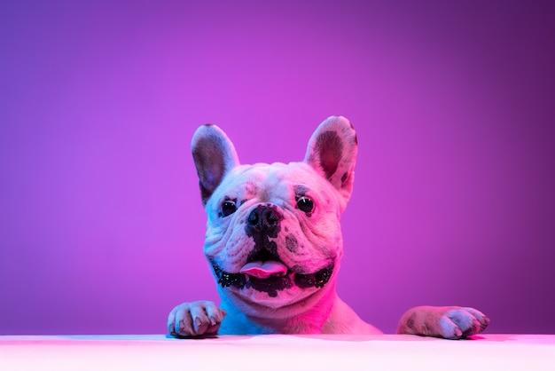 Портрет чистокровного бульдога, изолированного на фоне студии в неоновом градиенте розового фиолетового света