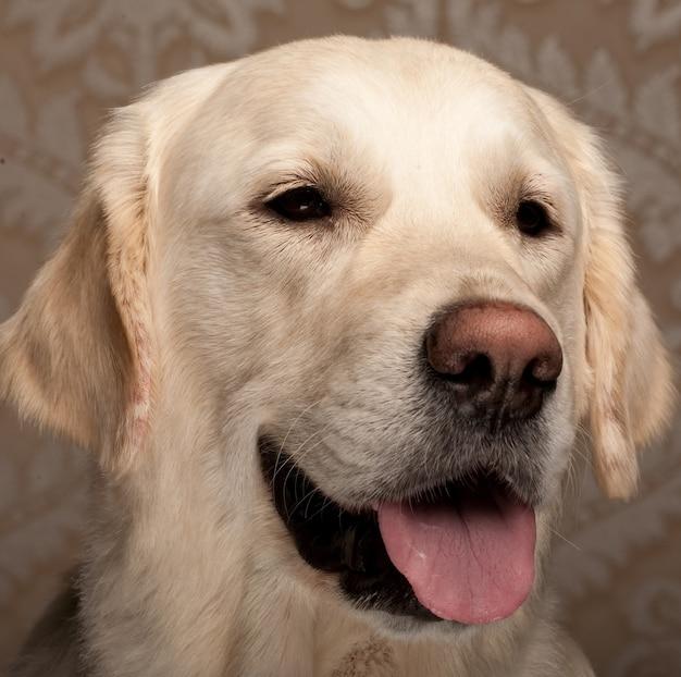 순종 골든 리트리버 강아지의 초상화를 닫습니다.